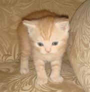Шотландский котенок нежного окраса