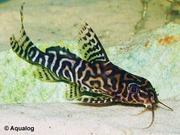 аквариумные рыбки - синадонтис