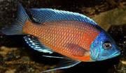 Аквариумные рыбки - каданго (взрослая пара)