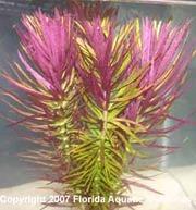 Аквариумные растения - лимнофила ароматика