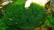 Аквариумные растения - ломариопсис линеата