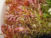 Аквариумные растения - ротала индийская
