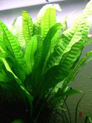 Аквариумные растения - тайландский папоротник