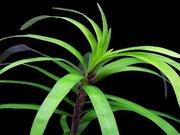 Аквариумные растения - эйхорния лазоревая