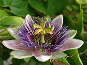 пассифлора голубая(страстоцвет или кавалерская звезда)